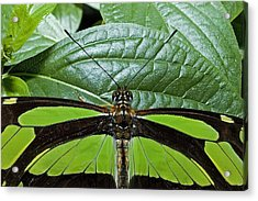 Green Butterfly Acrylic Print by Don Mennig