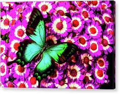 Green Butterfly On Pericallis Flowers Acrylic Print by Garry Gay