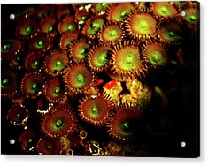 Acrylic Print featuring the photograph Green Button Polyps by Anthony Jones