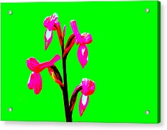 Green Champagne Orchid Acrylic Print by Richard Patmore