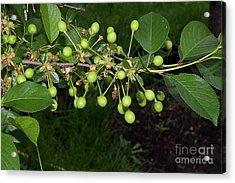 Green Cherry Acrylic Print