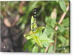 Green Darner Or Common Green Darner Acrylic Print by David Grant