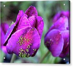 Aphids On Purple Tulips Acrylic Print