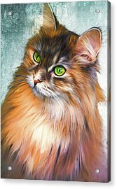 Green-eyed Maine Coon Cat - Remastered Acrylic Print