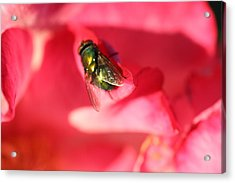 Green Fly Acrylic Print by Kerry Reed