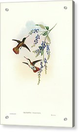 Acrylic Print featuring the painting Green-fronted Hummingbird Amazilia Viridifrons by John and Elizabeth Gould