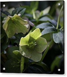 Green Hellebore Squared Acrylic Print by Teresa Mucha