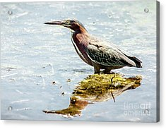 Acrylic Print featuring the photograph Green Heron Bright Day by Robert Frederick