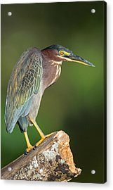 Green Heron Butorides Virescens Acrylic Print by Panoramic Images