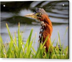 Acrylic Print featuring the photograph Green Heron Closeup  by Ricky L Jones