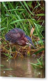 Acrylic Print featuring the photograph Green Heron In Costa Rica by John Haldane