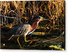 Acrylic Print featuring the photograph Green Heron by Larry Ricker