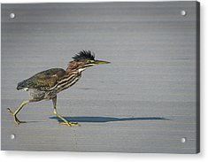 Green Heron On A Mission Acrylic Print