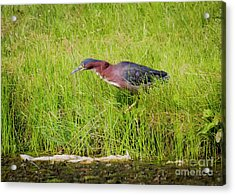 Green Heron On The Hunt Acrylic Print by Ricky L Jones