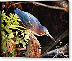 Green Heron Portrait Acrylic Print by Rose  Hill