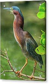Acrylic Print featuring the photograph Green Heron Pose by Deborah Benoit