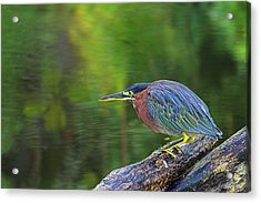 Green Heron- St Lucia Acrylic Print by Chester Williams
