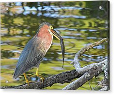 Green Heron With Fish Acrylic Print