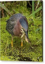 Green Heron With Prey Acrylic Print
