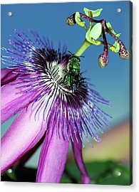 Green Hover Fly On Passion Flower Acrylic Print