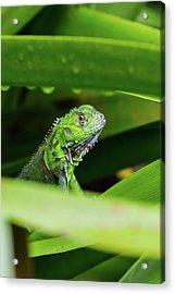Acrylic Print featuring the photograph Green Iguana Of Costa Rica by John Haldane
