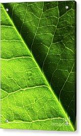 Green Leaf Veins Acrylic Print by Ana V Ramirez