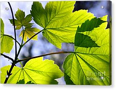 Green Leaves Acrylic Print by Carlos Caetano