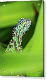 Acrylic Print featuring the photograph Green Lizard In Costa Rica by John Haldane