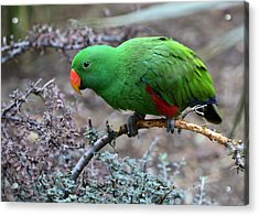 Green Male Eclectus Parrot Acrylic Print