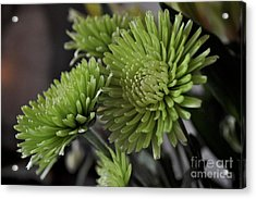 Green Mums Acrylic Print