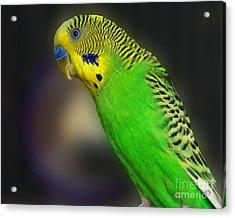 Green Parakeet Portrait Acrylic Print by Jai Johnson