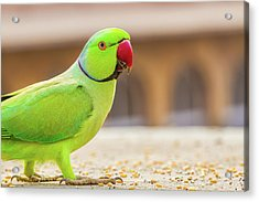 Green Parrot In India Acrylic Print