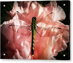 Green Pondhawk Dragonfly Acrylic Print by Jeff Folger
