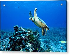 Green Sea Turtle Chelonia Mydas Acrylic Print by Tim Laman