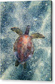 Green Sea Turtle From Above Acrylic Print