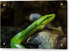 Green Snake Acrylic Print by Daniel Precht