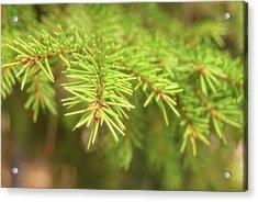 Green Spruce Branch Acrylic Print