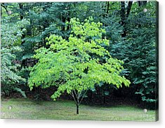Green Standout Tree Acrylic Print