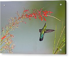 Green-throated Carib Acrylic Print