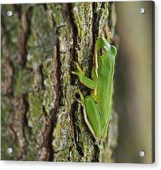 Green Tree Frog Thinking Acrylic Print by Douglas Barnett