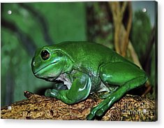 Green Tree Frog With A Smile Acrylic Print by Kaye Menner