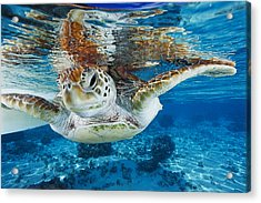 Green Turtle Acrylic Print by Alexis Rosenfeld
