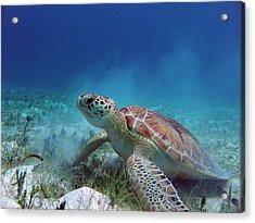 Green Turtle Acrylic Print by Kimberly Mohlenhoff