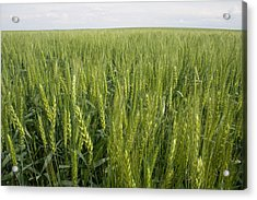 Acrylic Print featuring the photograph Green Wheat by Dylan Punke