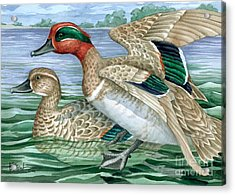 Green Winged Teal Acrylic Print by Paul Brent