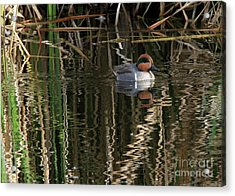 Green Winged Teal  Acrylic Print
