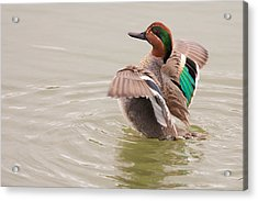 Acrylic Print featuring the photograph Green-winged Teal by Ram Vasudev