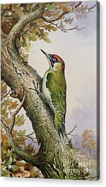 Green Woodpecker Acrylic Print by Carl Donner