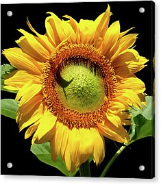 Greenburst Sunflower Acrylic Print by Rona Black