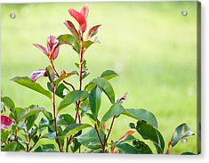Acrylic Print featuring the photograph Greenery And Red by Ivana Westin